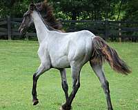 all-around-prospect-tennessee-walking-horse