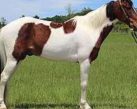 family-spotted-saddle-horse