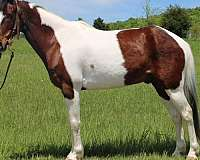 trail-spotted-saddle-horse