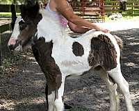 hall-of-fame-gypsy-vanner-horse