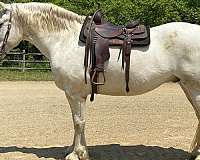 roping-shire-horse