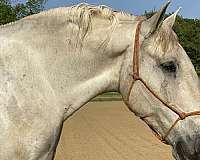 western-shire-horse
