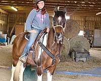tri-color-white-spotted-saddle-horse-for-sale-in-va