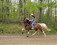 gaited-horse-for-sale-in-va-spotted-saddle