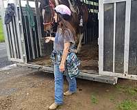 tri-color-white-spotted-saddle-horse-for-sale-in-va-gelding