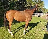 english-pleasure-thoroughbred-horse