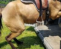 tennessee-walking-horse-for-sale-in-va