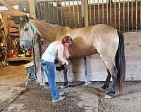 equitation-tennessee-walking-horse