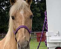 tennessee-walking-mare