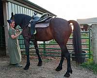 friesian-horse-for-sale