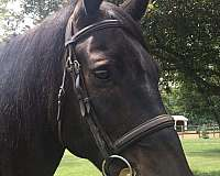 eventing-draft-horse