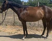 thoroughbred-horse-for-sale
