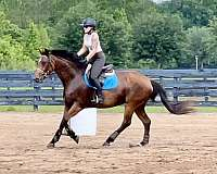 bay-right-hind-ankle-horse