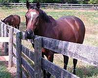 mchenry-thoroughbred-horse