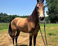 trail-tennessee-walking-horse