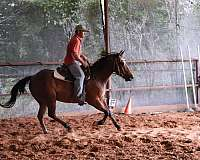 andalusians-gelding