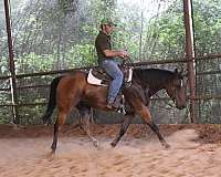 pre-andalusians-gelding