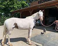 gaited-project-mare