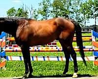 horses-for-sale-thoroughbred