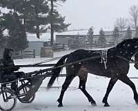gained-morgan-horse
