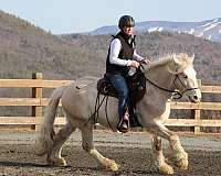 white-gypsy-vanner-palomino-for-sale
