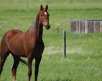 partial-right-hind-coronet-horse