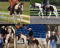 15-hand-spotted-saddle-pony