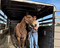pack-trail-riding-mule