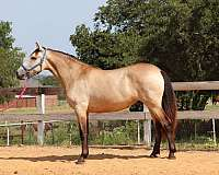 andalusians-horse