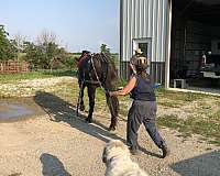 carriage-driving-prospect-gelding