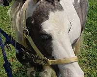pinto-gelding-for-sale