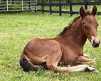 bay-aqha-filly-weanling