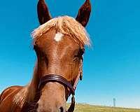 welsh-cob-horse
