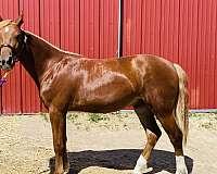 welsh-cob-horse-for-sale