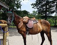 sooth-tennessee-walking-horse