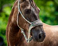 trained-rocky-mountain-horse