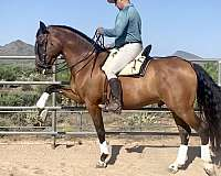 smaller-andalusian-horse