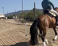 ridden-in-the-arena-andalusian-horse