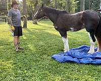 athletic-clydesdale-horse