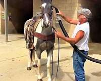 athletic-spotted-saddle-horse