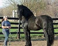 tame-friesian-horse