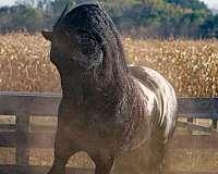 black-homozygous-horse
