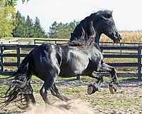 show-winner-stallion