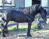 homozygous-black-horse