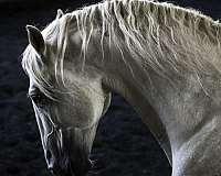 stud-lusitano-horse