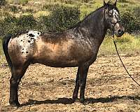 bay-roan-snowcap-horse