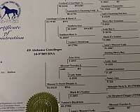 world-grand-champion-missouri-fox-trotter-horse