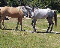 big-bone-missouri-fox-trotter-horse
