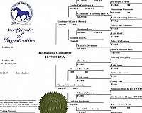 big-bone-missouri-fox-trotter-horse