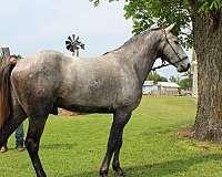solid-build-missouri-fox-trotter-horse